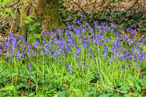 Photograph - Bluebell Copse 2 by Steve Purnell