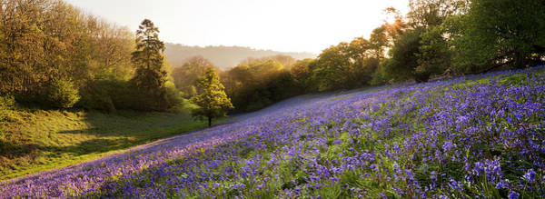 Wall Art - Photograph - Bluebell Field, Minterne Magna, Dorset by Simon J Byrne