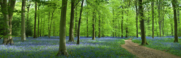 Wall Art - Photograph - Bluebell Path by Pkfawcett