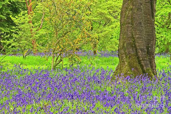 Photograph - Bluebells And Blossom In Spring by Martyn Arnold