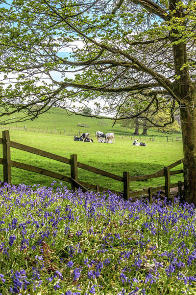 Wall Art - Photograph - Bluebells And Cows by W Chris Fooshee