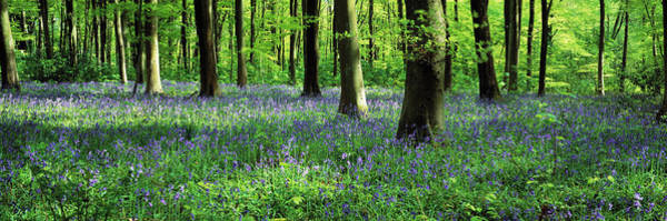 Wall Art - Photograph - Bluebells In A Forest, Micheldever by Panoramic Images