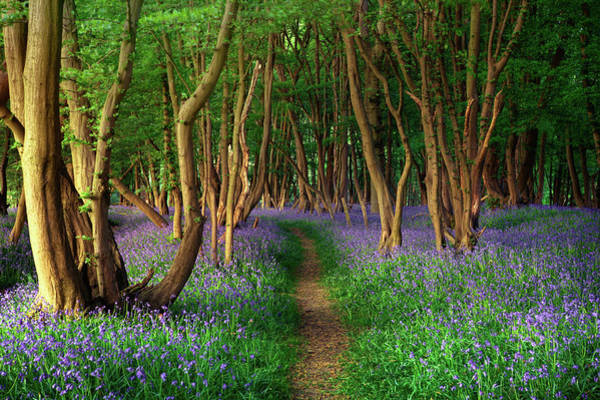 Single Wall Art - Photograph - Bluebells In Sussex by Photography By Sam C Moore