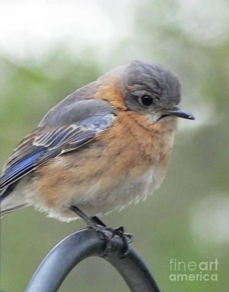 Photograph - Bluebird 12 by Lizi Beard-Ward