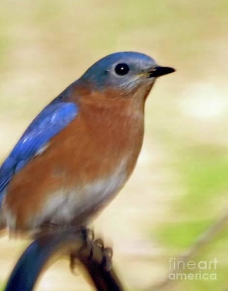 Photograph - Bluebird 18 by Lizi Beard-Ward