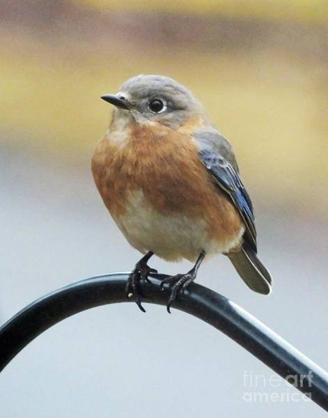Photograph - Bluebird 19 by Lizi Beard-Ward