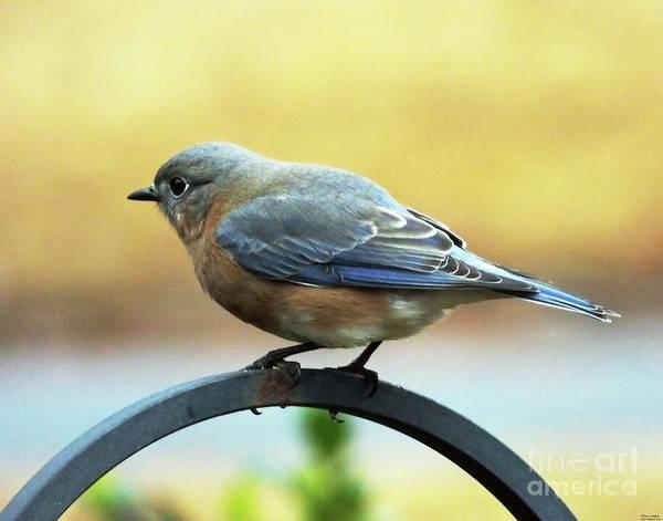 Photograph - Bluebird 23 by Lizi Beard-Ward