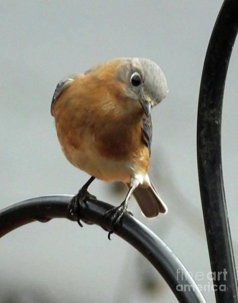 Photograph - Bluebird 25 by Lizi Beard-Ward