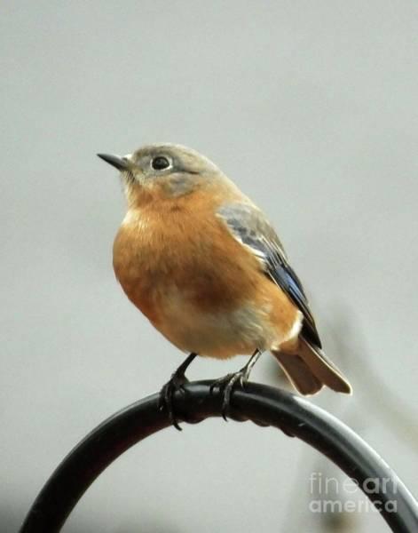 Photograph - Bluebird 26 by Lizi Beard-Ward