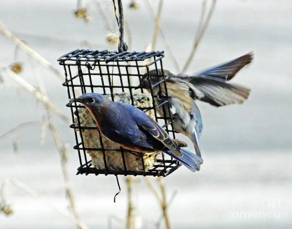 Photograph - Bluebird 30 by Lizi Beard-Ward