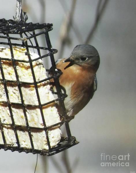 Photograph - Bluebird 35 by Lizi Beard-Ward