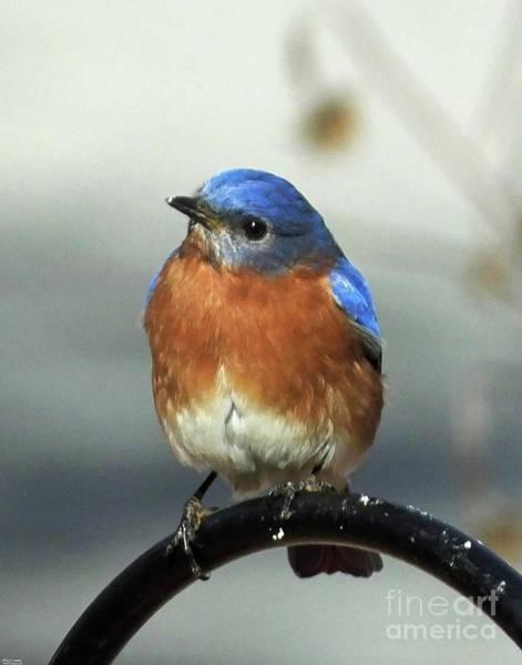 Photograph - Bluebird 36 by Lizi Beard-Ward