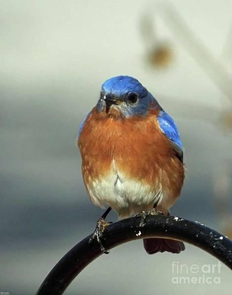 Photograph - Bluebird 37 by Lizi Beard-Ward