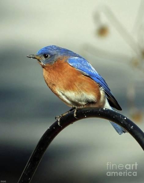 Photograph - Bluebird 38    by Lizi Beard-Ward