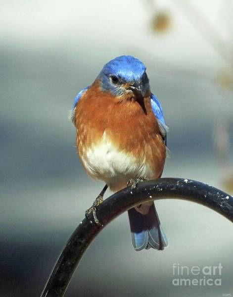 Photograph - Bluebird 39 by Lizi Beard-Ward
