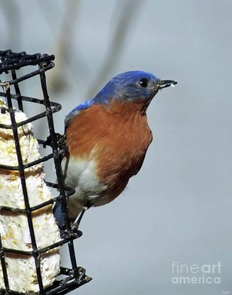Photograph - Bluebird 40 by Lizi Beard-Ward