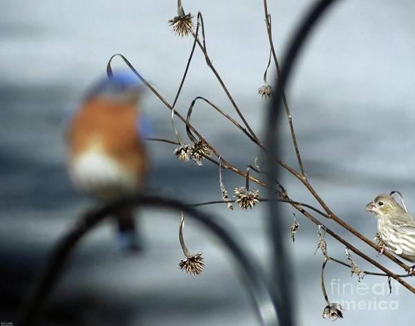Photograph - Bluebird 41    by Lizi Beard-Ward