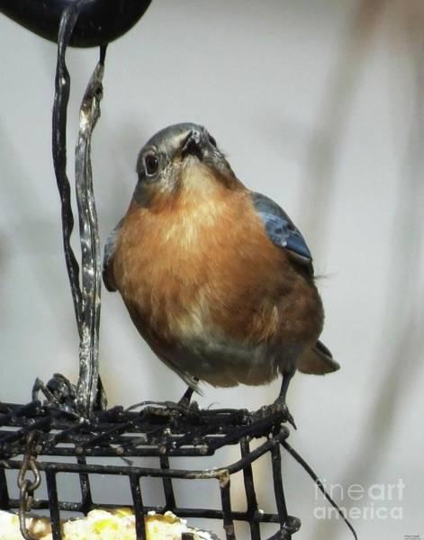 Photograph - Bluebird 47 by Lizi Beard-Ward