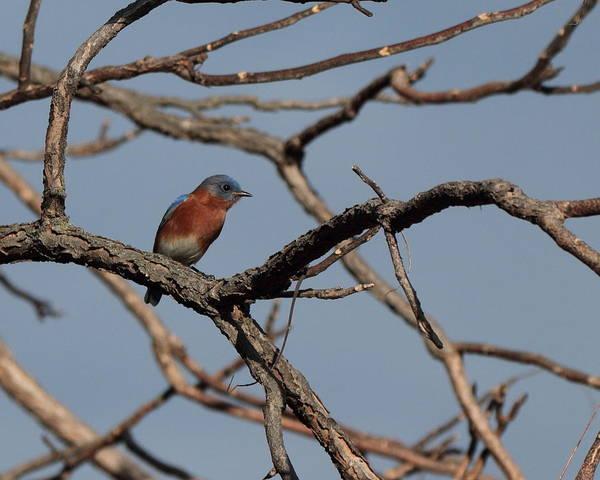 Photograph - Bluebird 4716 by John Moyer