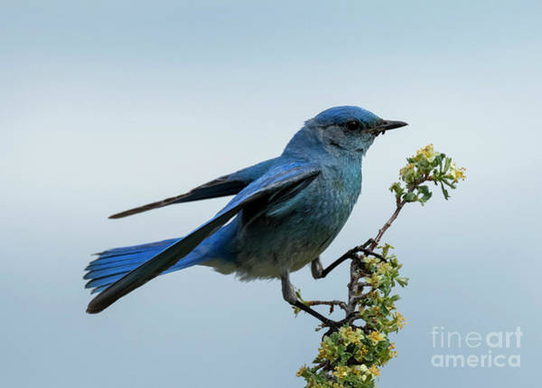 Wall Art - Photograph - Bluebird Balance by Mike Dawson