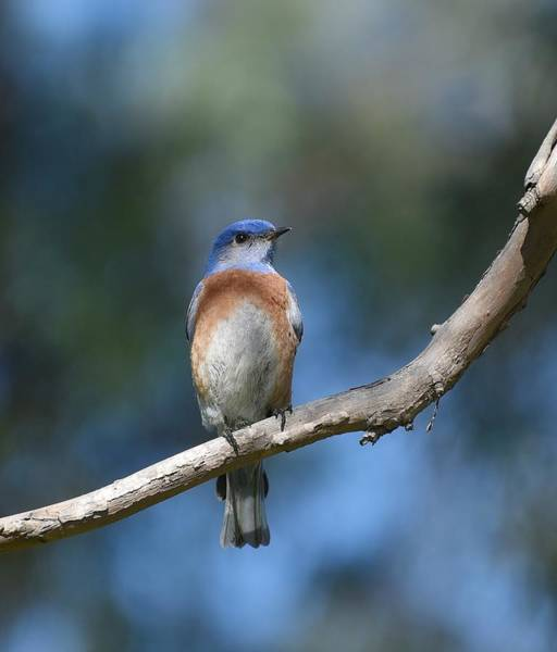 Photograph - Bluebird Branch by Fraida Gutovich