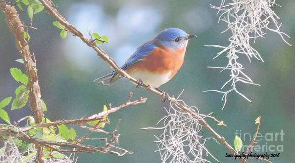 Photograph - Bluebird In Dixie  by Tami Quigley