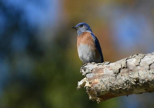 Photograph - Bluebird Of Happiness 4 by Fraida Gutovich