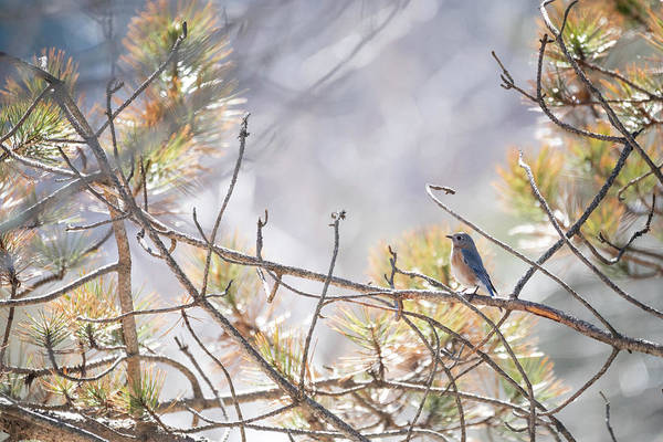 Photograph - Bluebird Of Happiness by Brian Hale