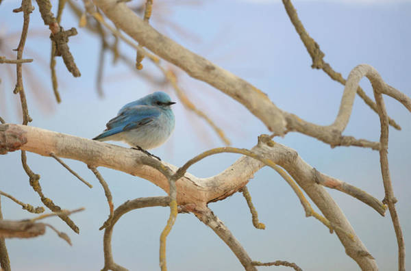 Wall Art - Photograph - Bluebird Of Happiness by Whispering Peaks Photography