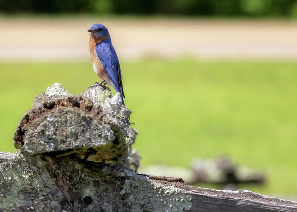 Photograph - Bluebird Of Spring by Susan Rissi Tregoning