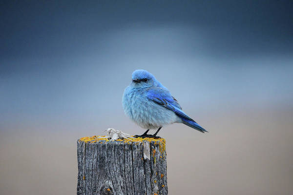 Wall Art - Photograph - Bluebird On A Post by Whispering Peaks Photography