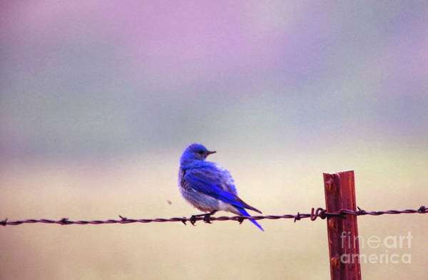 Wall Art - Photograph - Bluebird On Barbed Wire by Jeff Swan