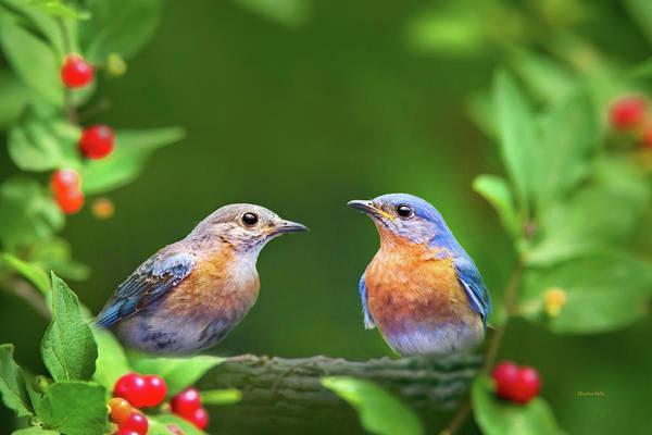 Photograph - Bluebird Pair by Christina Rollo