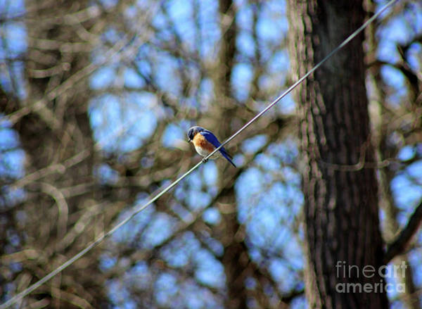 Photograph - Bluebird Sitting On A Wire by Karen Adams