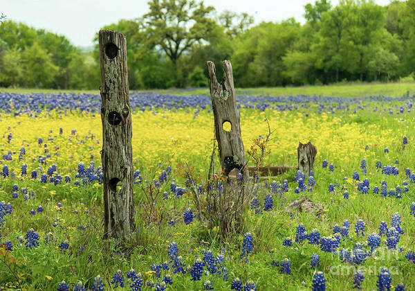 Texas Bluebonnet Digital Art - Bluebonnet Dueling Posts  by Elijah Knight