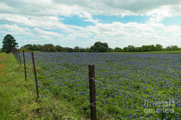 Texas Bluebonnet Digital Art - Bluebonnet Field 1 by Elijah Knight