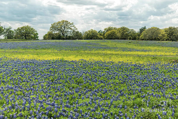 Texas Bluebonnet Digital Art - Bluebonnet Field 2 by Elijah Knight