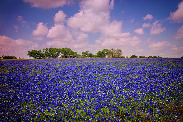 Photograph - Bluebonnet Heaven In Round Rock by Lynn Bauer