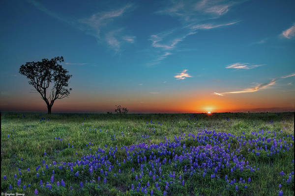 Photograph - Bluebonnet Sunrise by Gaylon Yancy