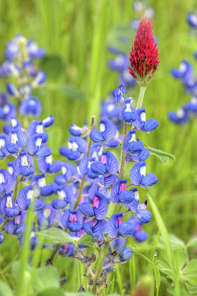 Photograph - Bluebonnets And Clover by JC Findley