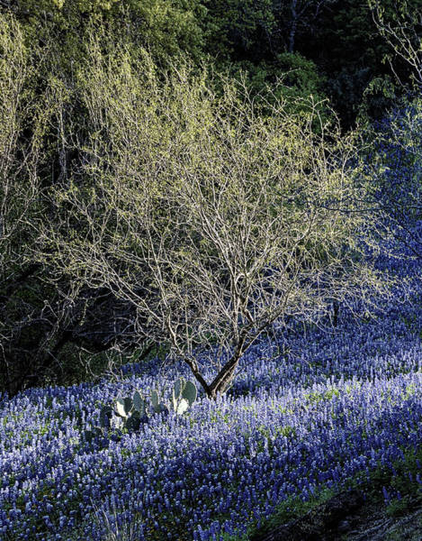Photograph - Bluebonnets And Mesquite by JC Findley