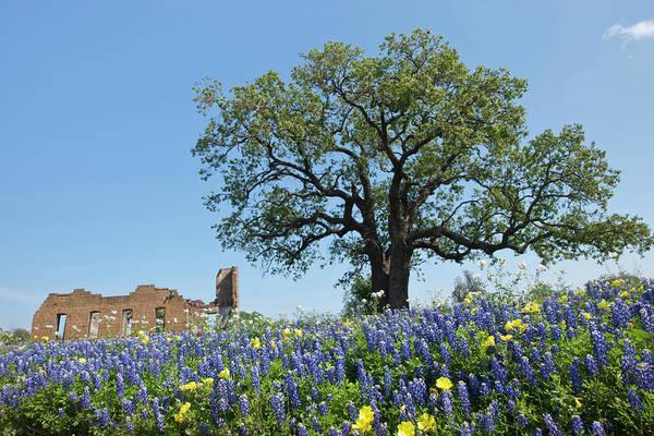 Coast Live Oak Photograph - Bluebonnets Lupinus Texensis In Bloom by Danita Delimont