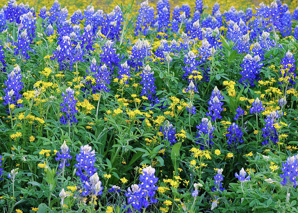 Photograph - Bluebonnets Spring 041219 by Rospotte Photography