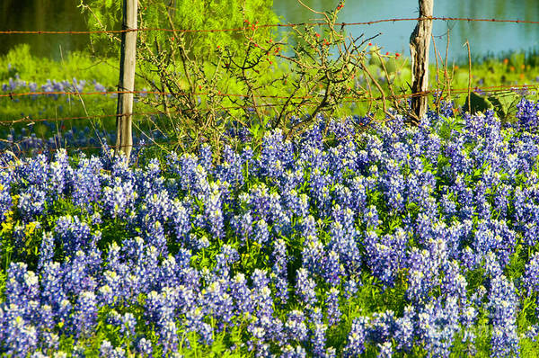 Season Photograph - Bluebonnets, Texas by Donovan Reese