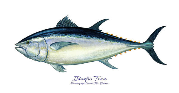 Reel Painting - Bluefin Tuna by Charles Harden