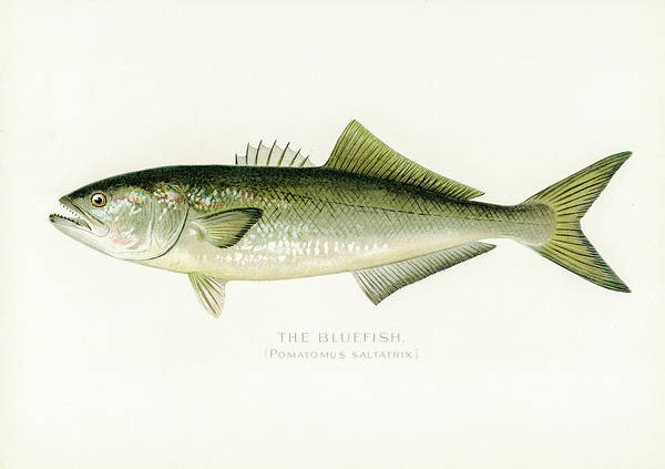 Drawing - Bluefish by David Letts