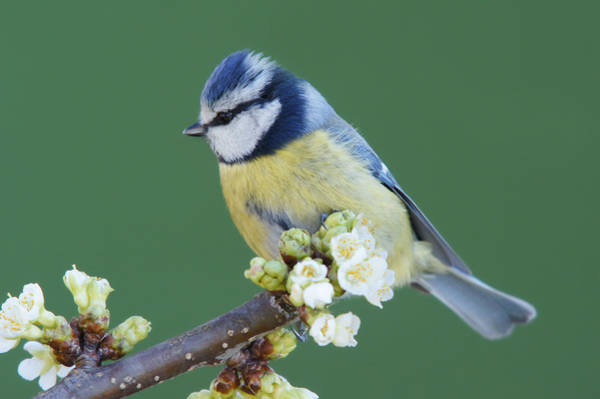 Head Tilt Photograph - Bluetit On A Blossoming Twig by Schnuddel