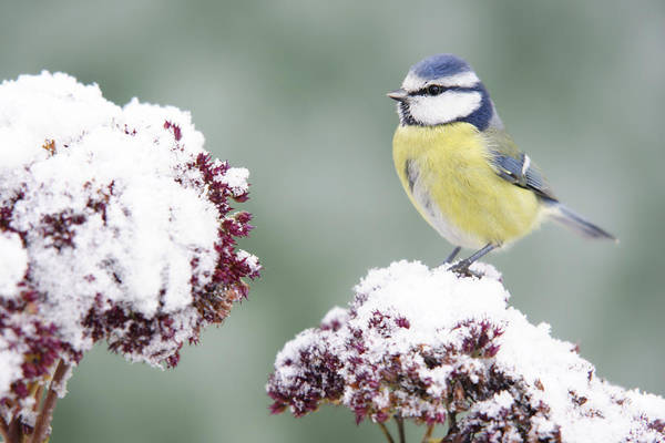 Head Tilt Photograph - Bluetit On Stonecrop by Schnuddel