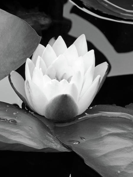 Wall Art - Photograph - Blumen Des Wassers - Flowers Of The Water 41 - Bw by Pamela Critchlow