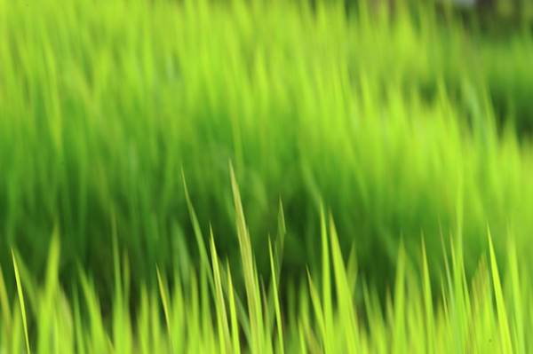 Flores Photograph - Blurred Leaves In Rice Field by Carlina Teteris